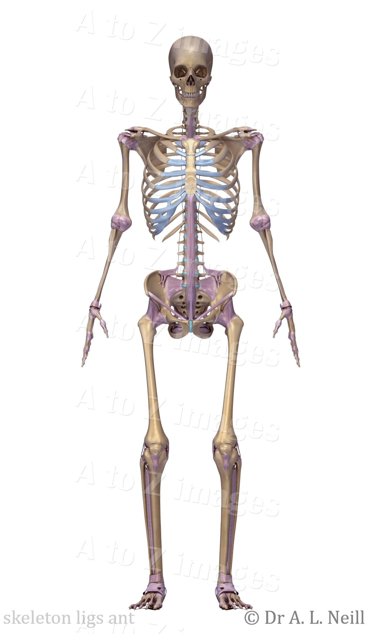 Amandas A To Z Medical Pocket Books A To Z Of Bones Joints And